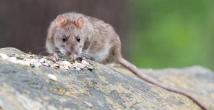 Les rats à Paris : comment en venir à bout ?
